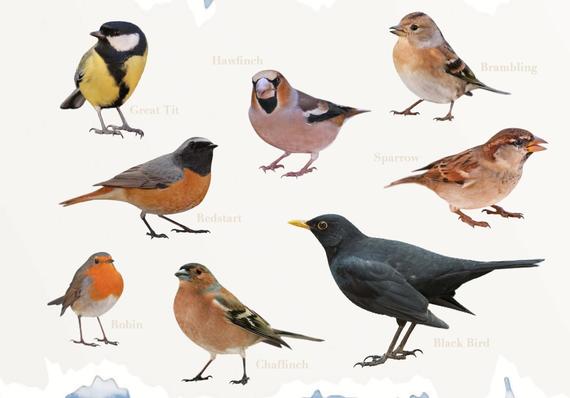 Several illustrations of garden birds